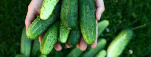 Les bienfaits du concombre – Un garant pour une peau saine